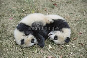 Giant Panda (Ailuropoda melanoleuca) eight month old cubs playing, Chengdu, Sichuan, China