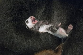 Giant Panda (Ailuropoda melanoleuca) four week old cub yawning in mother's arm, Wolong Nature Reserv
