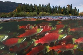 Sockeye Salmon (Oncorhynchus nerka) group migrating upstream, Adams River, Roderick Haig-Brown Provi