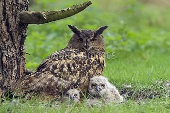 Eurasian Eagle-Owl (Bubo Bubo) parent on nest with chicks, Netherlands
