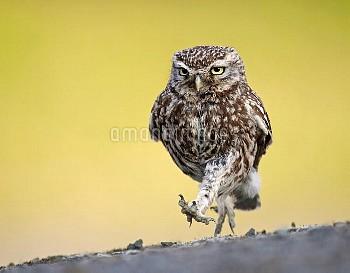 Little Owl (Athene noctua) running