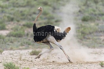 Ostrich (Struthio camelus) male running, Kgalagadi Transfrontier Park, South Africa