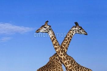 Masai Giraffe (Giraffa camelopardalis tippelskirchi) males necking, Masai Mara, Kenya