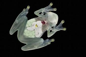 Glass Frog (Hyalinobatrachium aureoguttatum) underside showing internal organs, native to South Amer