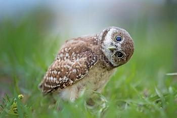 Burrowing Owl (Athene cunicularia) curious owlet, Cape Coral, Florida