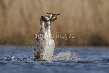 Great Crested Grebe (Podiceps cristatus) pair in courtship display, Noord-Holland, Netherlands