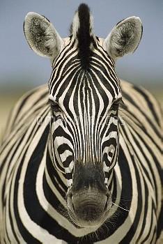 Burchell's Zebra (Equus burchellii) portrait, Etosha National Park, Namibia