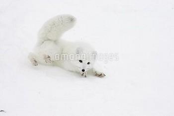 Arctic Fox (Alopex lagopus) rolling in snow in arctic tundra, Canada