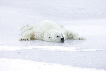 Polar Bear (Ursus maritimus) resting splayed out on ice to cool off after playing, Canada