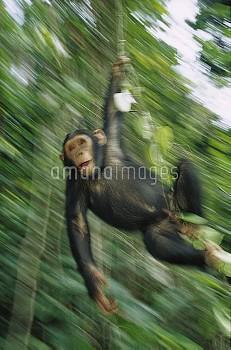 Chimpanzee (Pan troglodytes) juvenile swinging from vines, Gabon