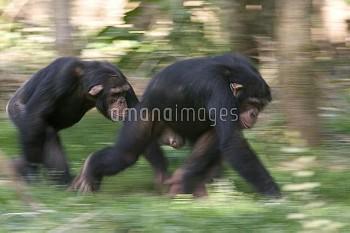 Chimpanzee (Pan troglodytes) pair knuckle-walking, La Vallee Des Singes Primate Center, France