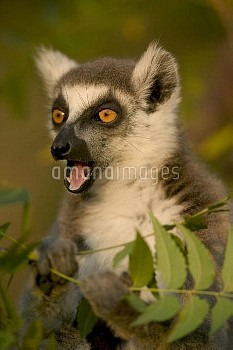 Ring-tailed Lemur (Lemur catta) calling, vulnerable, Berenty Private Reserve, Madagascar