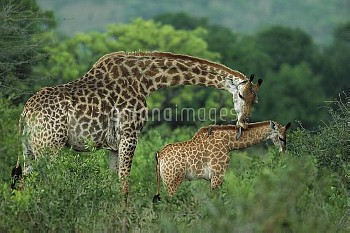 Giraffe (Giraffa camelopardalis) mother grooming her calf, Phinda Game Reserve, South Africa