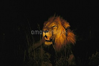 African Lion (Panthera leo) adult male roaring at night, Sabi Sands Private Game Reserve, South Afri