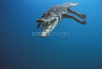 Saltwater Crocodile (Crocodylus porosus) swimming, Oro Bay, Papua New Guinea