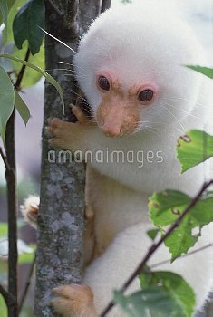 Spotted Cuscus (Phalanger maculatus) in tree, Papua New Guinea