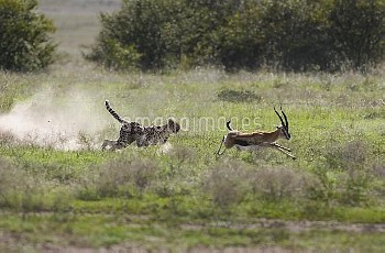 Cheetah (Acinonyx jubatus) chasing male Thomson's Gazelle (Eudorcas thomsonii), Masai Mara National