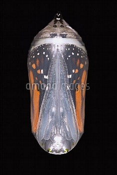 Monarch (Danaus plexippus) butterfly pupa about to emerge from chrysalis, New Jersey