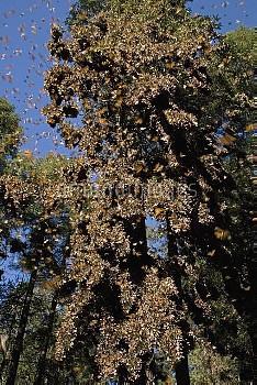 Monarch (Danaus plexippus) butterfly overwintering colony, Michoacan, Mexico