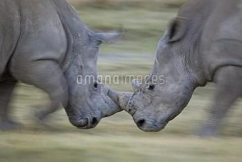 White Rhinoceros (Ceratotherium simum) males fighting, Lake Nakuru, Kenya