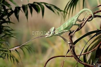 Veiled Chameleon (Chamaeleo calyptratus) striking at cricket with tongue