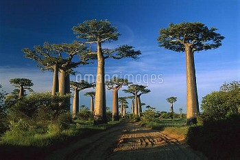 Grandidier's Baobab (Adansonia grandidieri) trees near road, Morondava, Madagascar