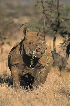 Black Rhinoceros (Diceros bicornis) feeding on acacia, Lewa Downs Reserve, Kenya