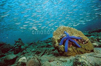 Blue Sea Star (Linckia laevigata) and schooling baitfish, 20 feet deep, Papua New Guinea