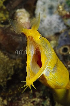 Ribbon Eel (Rhinomuraena quaesita) female gaping in defensive behavior, Indonesia