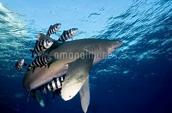 Oceanic White-tip Shark (Carcharhinus longimanus) followed by Pilot Fish (Naucrates ductor)that keep