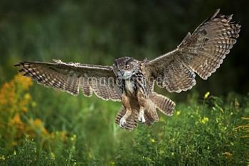 Eurasian Eagle-Owl (Bubo bubo) landing, Netherlands