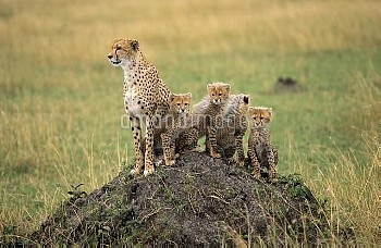 Cheetah (Acinonyx jubatus) female with cubs sitting on old termite mound, Africa