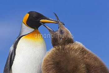 King Penguin (Aptenodytes patagonicus) chick begging for food, South Georgia Island
