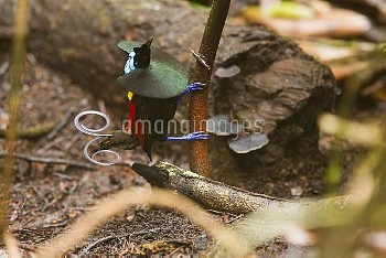 Wilson's Bird-of-paradise (Cicinnurus respublica) male courting, New Guinea, Papua New Guinea