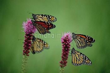 Monarch (Danaus plexippus) butterfly group resting on Thickspike Gayfeather (Liatris pycnostachya) f