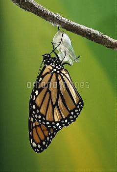 Monarch (Danaus plexippus) butterfly emerging from cocoon, Minnesota