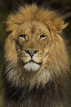 African Lion (Panthera leo) male portrait, threatened, native to Africa