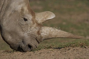 Northern White Rhinoceros (Ceratotherium simum cottoni) grazing showing double horns, critically end