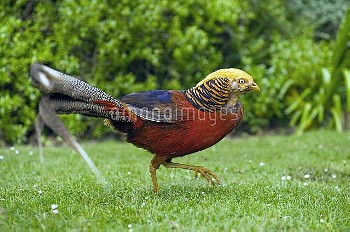 Golden Pheasant (Chrysolophus pictus) male, Tresco, Scilly Islands, Cornwall, United Kingdom