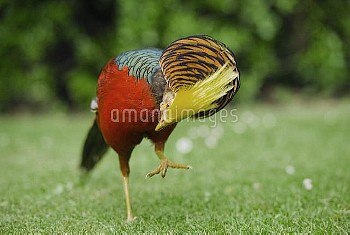 Golden Pheasant (Chrysolophus pictus) male displaying, Tresco, Scilly Islands, Cornwall, United King