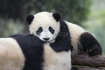 Giant Panda (Ailuropoda melanoleuca) six-to-eight month old cub resting on mother, Chengdu, China
