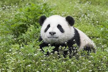 Giant Panda (Ailuropoda melanoleuca) six-to-eight month old cub, Bifengxia Panda Base, Sichuan, Chin