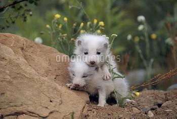 ホッキョクギツネの子 〔lagopus,arctic,fox,Vulpes,Alopex〕