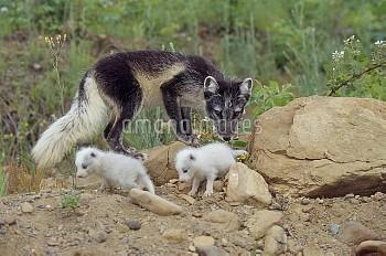 ホッキョクギツネの親子 〔lagopus,arctic,fox,Vulpes,Alopex〕