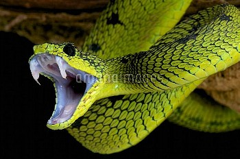 グレートレイクスブッシュバイパー〔Great,湖,ニコン,Bush,Viper,nitschei,Atheris,〕Atheris nitschei, Great Lakes bush viper,