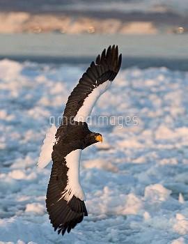 流氷の上を飛翔するオオワシ 〔Haliaeetus,S,ニコン,Sea−eagle,Steller,pelagicus,インバウンド_生き物,〕 Steller's Eagles Haliaeetus