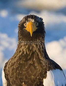 オオワシの正面顔 〔Haliaeetus,S,ニコン,Sea−eagle,Steller,pelagicus,〕 Steller's Eagle Haliaeetus pelagicus  Nemur