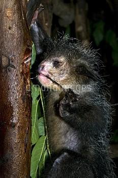 細長い中指を使って餌をとるアイアイ 〔ニコン,madagascariensis,Daubentonia,Aye_aye〕 Nocturnal lemur found only in Madagasca