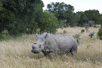 Northern white rhinoceros / rhino (Ceratotherium simum cottoni) After initial release into the wild