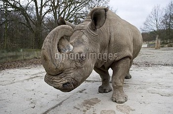 Northern white rhinoceros / rhino (Ceratotherium simum cottoni) In Dvur Kralove Zoo, Czech Republic,